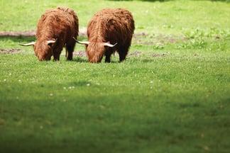 Belmond-cows
