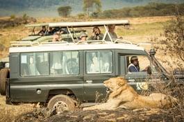 safari-south-africa-caravan-lion