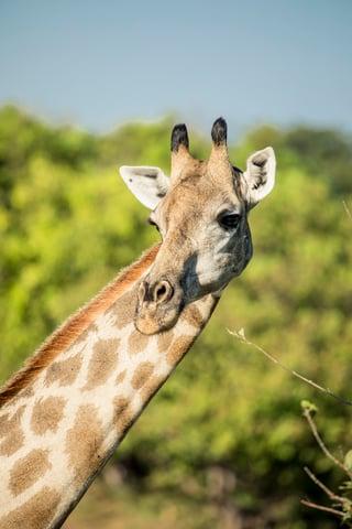 africa-safari-giraffe-luxury