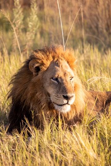 africa-safari-king-lion-luxury