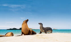 galapagos-beach-seal