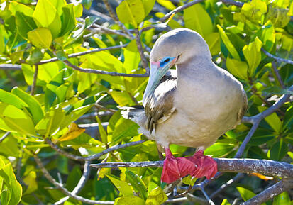 galapagos-red-footed-booby