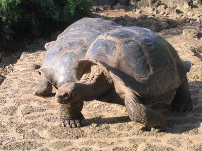 galapagos-tortoise
