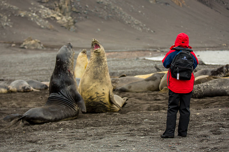 Southern-Elephant-Seal-800