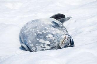 Weddell-Seal-800