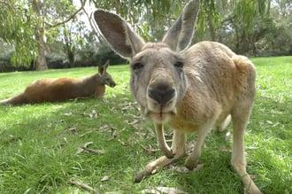 Kangaroo - Sydney, Australia