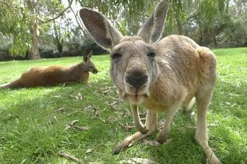 kangaroo-1186177_1920